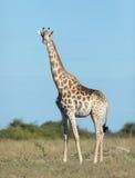 Female Southern Giraffe, Botswana. Female Southern Giraffe in the Savuti area of Chobe National Park in Botswana Royalty Free Stock Image