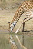 Female Southern Giraffe drinking, South Africa (Giraffa camelopa Stock Images