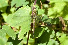 A female Southern Hawker, resting in the sunshine. royalty free stock image