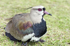Female of the Southern lapwing nesting cubs Stock Photo