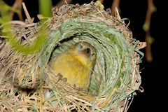 Female Southern Masked Weaver in nest Stock Image