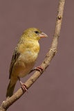 Female Southern Masked-weaver perched against twig Stock Photo