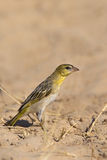 Female Southern masked Weaver stood on sandy ground Stock Image