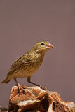 Female Southern Red Bishop perched on rock royalty free stock images