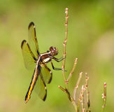 Female Spangled Skimmer, Libellula cyanea Stock Images