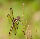 Female Spangled Skimmer, Libellula cyanea Stock Images
