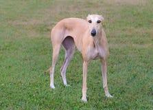Female Spanish Galgo dog Royalty Free Stock Photos