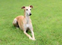 Female Spanish Galgo dog Stock Image