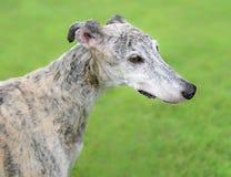 Female Spanish Galgo dog Stock Photos