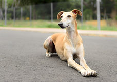 Female Spanish Galgo dog Royalty Free Stock Photos