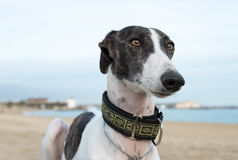 Female spanish greyhound Royalty Free Stock Photo