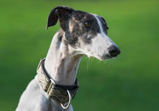 Female spanish greyhound dog Royalty Free Stock Image