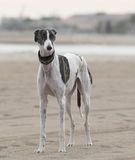 Female spanish greyhound Royalty Free Stock Images
