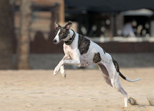 Female spanish greyhound Stock Photography