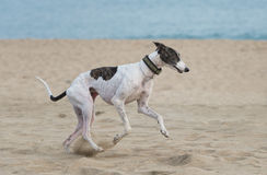 Female spanish greyhound Stock Images