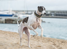 Female spanish greyhound Royalty Free Stock Image
