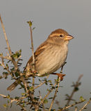 A female Spanish Sparrow Stock Images