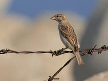 Female sparrow Stock Photography