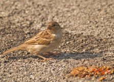 Female sparrow. Eating bird seed Royalty Free Stock Photo