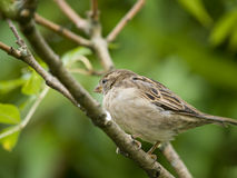 Female sparrow Royalty Free Stock Photo