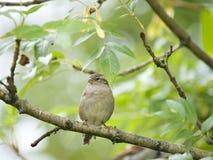 Female sparrow Royalty Free Stock Photo