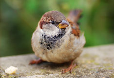 Female Sparrow Stock Images