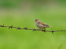 Female sparrow on barbed wire. Stock Photo