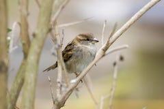 Female sparrow on bare tree Royalty Free Stock Photos