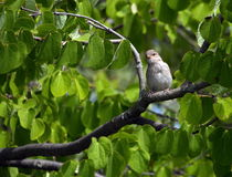 Female sparrow Stock Image