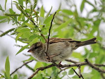 Female sparrow Stock Photography