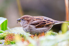 Female Sparrow,close up Stock Images