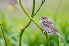 Female sparrow on a flower stem stock photography
