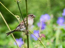 Female Sparrow with food for its chicks. Close up of female sparrow perched on a flower stem with insects in its beak preparing to fly to a nearby nest to feed royalty free stock photo