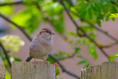 Female Sparrow on my garden fence. royalty free stock photography