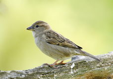 Female sparrow Royalty Free Stock Images