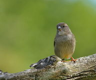 Female sparrow Royalty Free Stock Photos