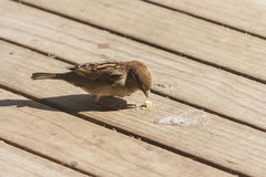 Female sparrow pecking on wooden boards Stock Images
