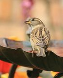 Female sparrow sat on bird bath. Female sparrow sitting on a garden bird bath Royalty Free Stock Photo