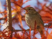 Female sparrow singing, Montreux, Switzerland. Female sparrow singing in the tree by autumn day, Montreux, Switzerland stock images