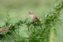 A female sparrow sits on a bush stock photography