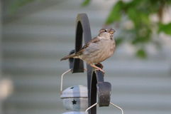 Female Sparrow in the Spring Royalty Free Stock Photo