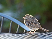 Female Sparrow on Table In Sun Stock Photography
