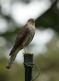 Female sparrowhawk. Royalty Free Stock Image