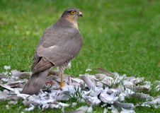Female Sparrowhawk with kill. The sparrowhawk, is a small bird of prey in the family Accipitridae. Female Sparrowhawk with kill, a Collared Dove on a house lawn royalty free stock image