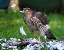 Female Sparrowhawk with kill. The sparrowhawk, is a small bird of prey in the family Accipitridae. Female Sparrowhawk with kill, a Ring Neck Dove on a suburban stock photography