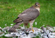 Female Sparrowhawk with kill. The sparrowhawk, is a small bird of prey in the family Accipitridae. Female Sparrowhawk with kill, a Ring Neck Dove on a suburban royalty free stock image