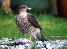 Female Sparrowhawk with kill. The sparrowhawk, is a small bird of prey in the family Accipitridae. Female Sparrowhawk with kill, a Ring Neck Dove on a suburban stock photo