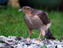 Female Sparrowhawk with kill. The sparrowhawk, is a small bird of prey in the family Accipitridae. Female Sparrowhawk with kill, a Ring Neck Dove on a suburban stock images