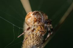 The female spider araneus. Sitting in his nest Royalty Free Stock Image