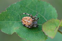 The female spider araneus. Sitting in his nest Royalty Free Stock Images